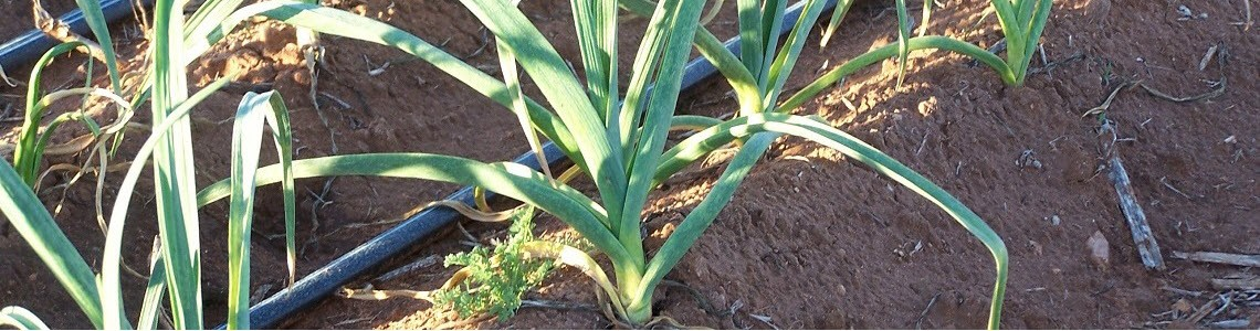 tooley garlic
